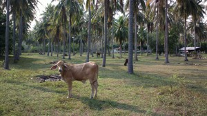 Cattle grazing among the palms in Pranburi, Thailand