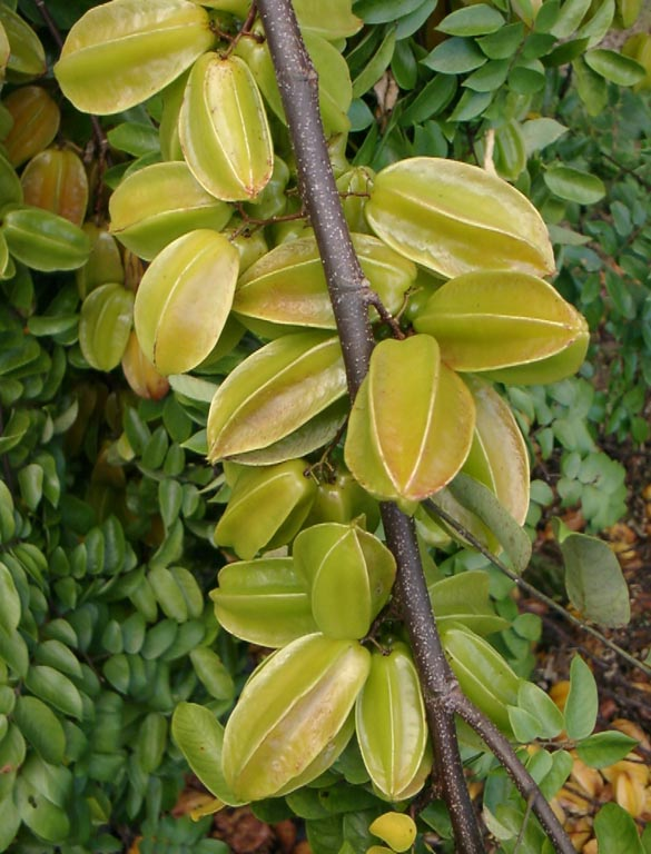 Thai Fruits List Of Fruits In Thailand With Botanical And
